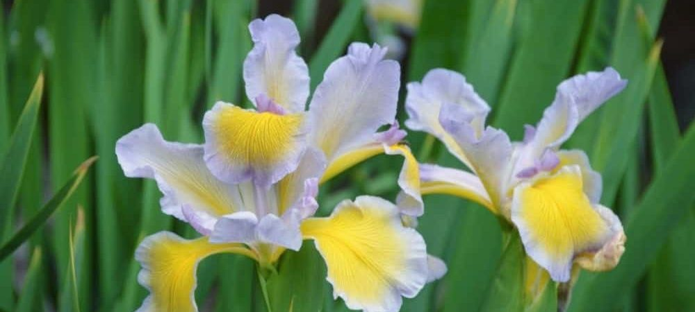 American Iris Society - Canada Information