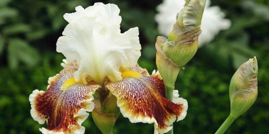 Bearded Iris In Pots