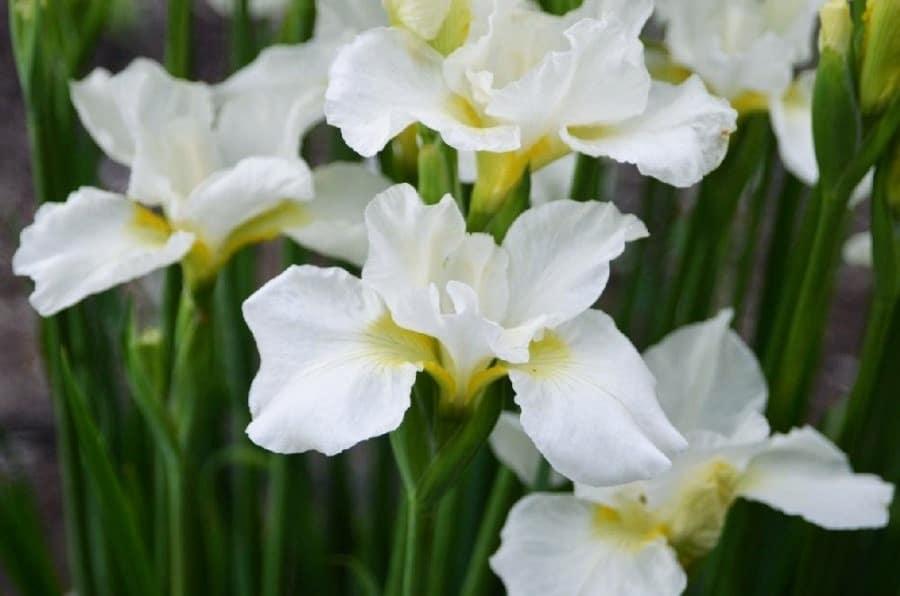 How to grow and care for irises
