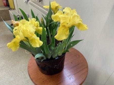 Iris in a pot