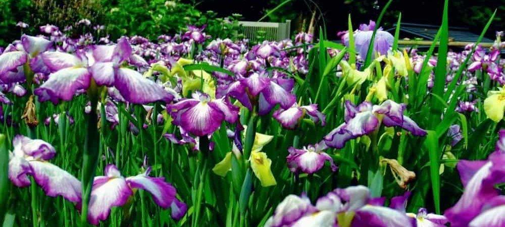 Iris seeds germination