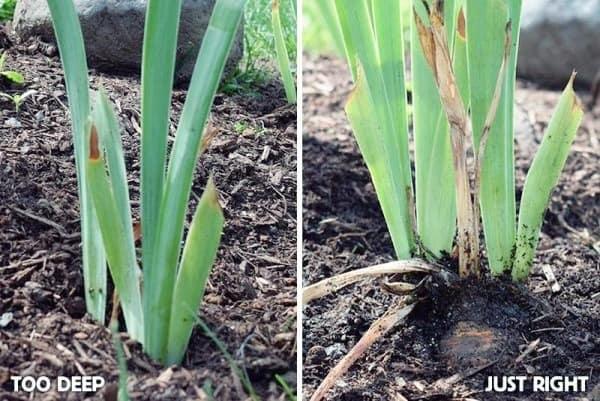 Irises Planting