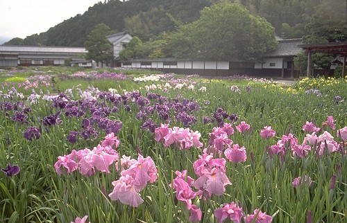Japanese Iris field