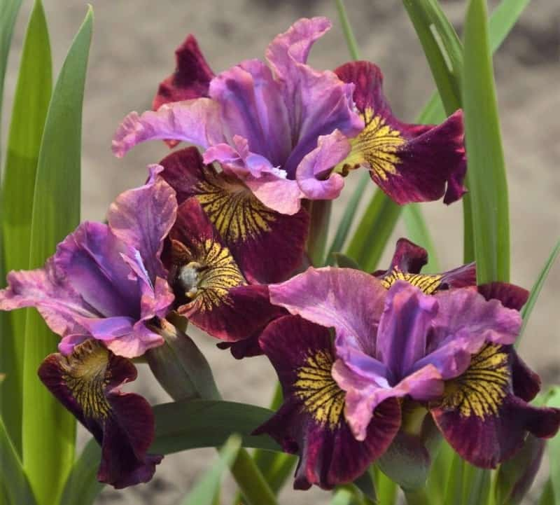 Siberian irises maintenance