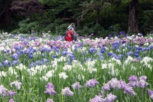 Yokosuka Iris Flower Garden